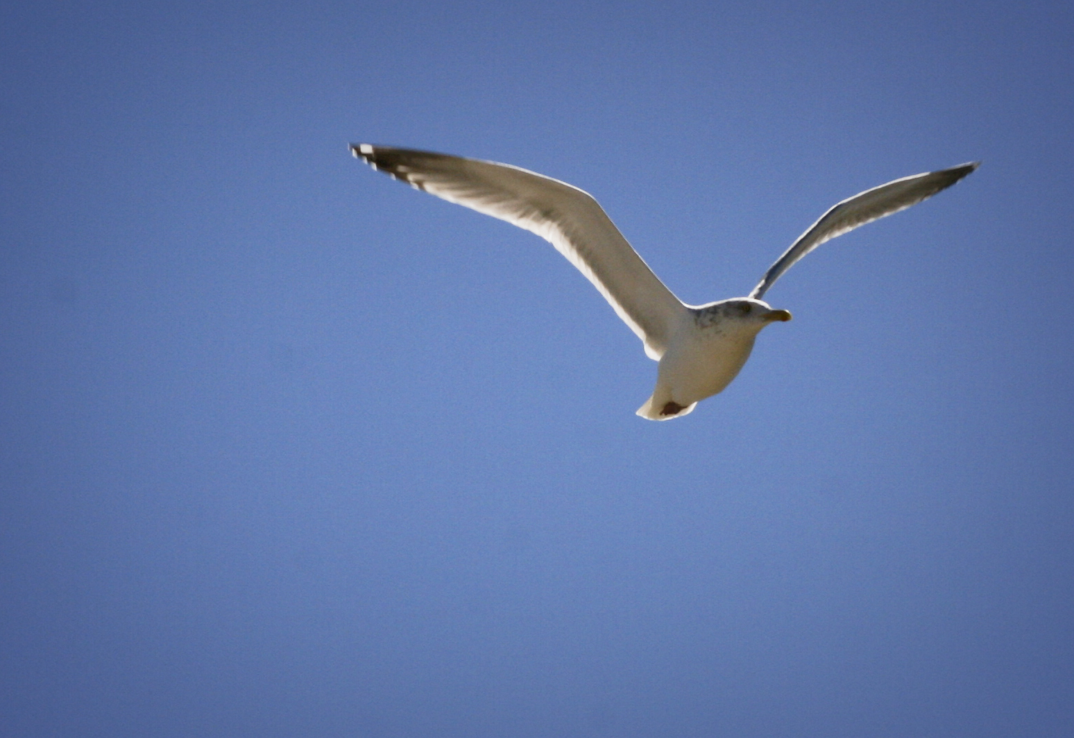 Seagull Blue Sky SPI Sunshine Wings South Padre