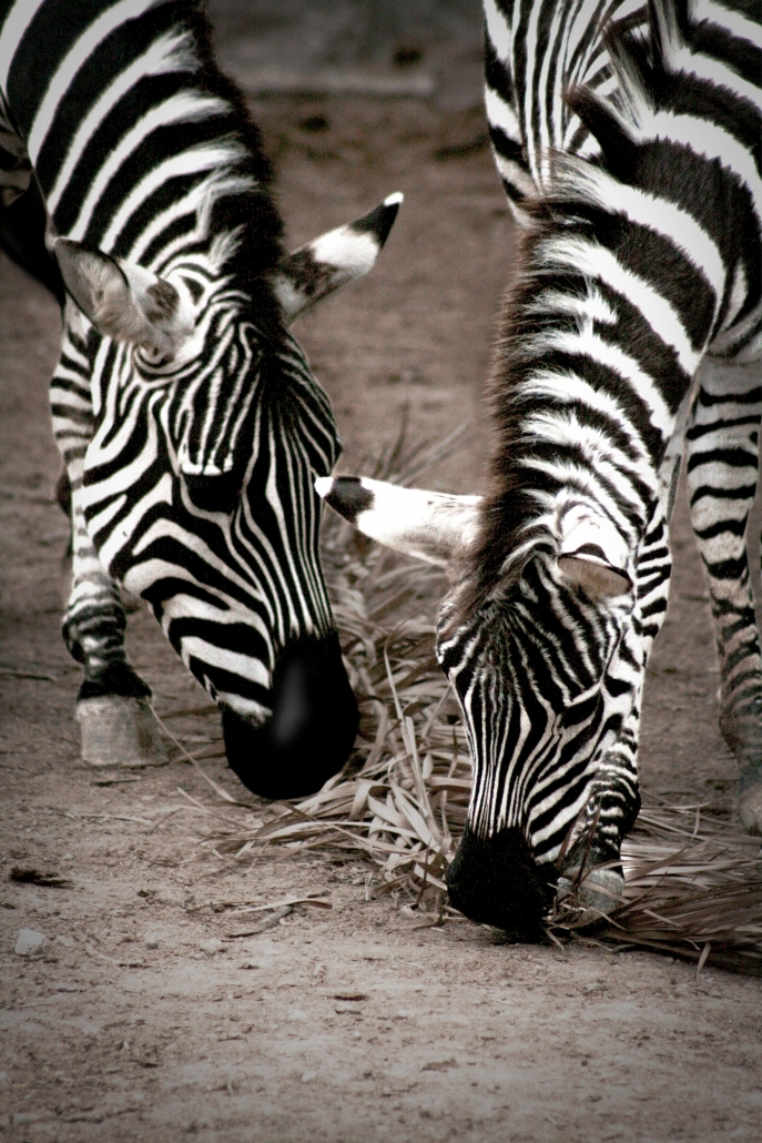 Zebras Black White Gladys Porter Zoo Texas