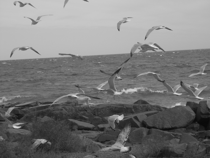 Birds Duluth Black White Seagulls Gulls