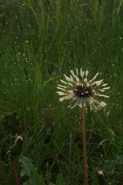 Dandelion Dew Spring