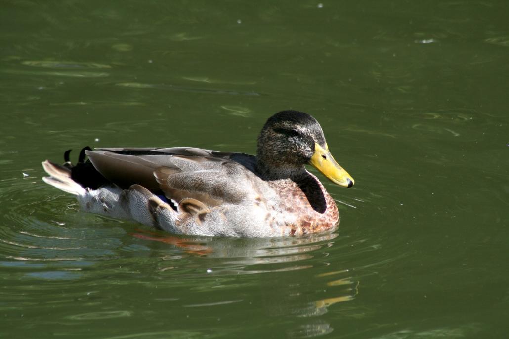 Duck Minnesota Lake