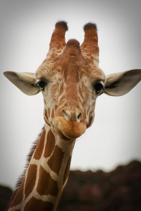 Giraffe Animals Gladys Porter Zoo Life Texas