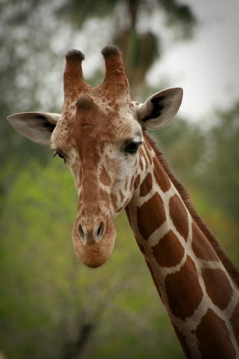 Giraffe Texas Brownsville Gladys Porter Zoo life