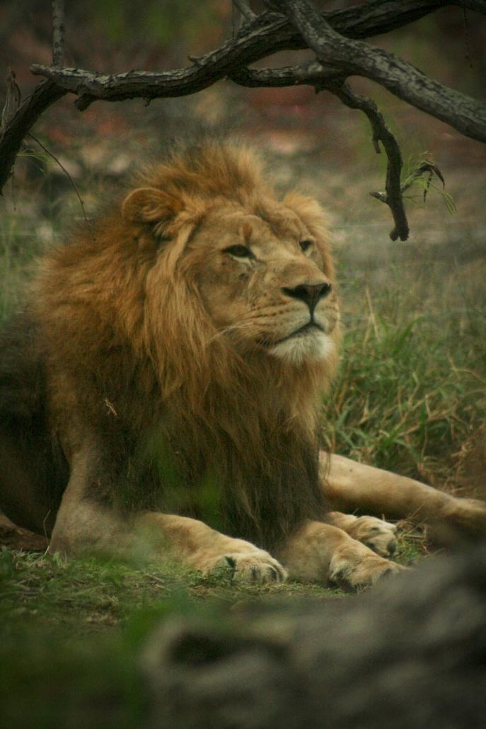 Lion Gladys Porter Zoo Life