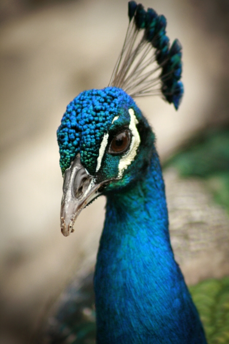 Peacock Animals Gladys Porter Zoo Life Texas