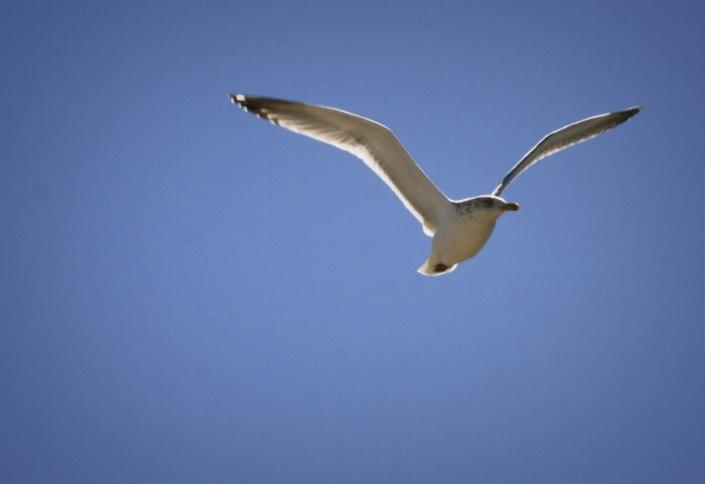 Seagull Blue Sky SPI Sunshine Wings South Padre
