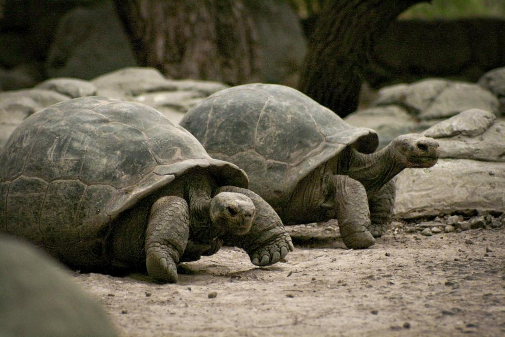 Tortoise Animals Gladys Porter Zoo Life Texas