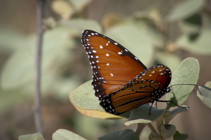 Butterfly Monarch Summer